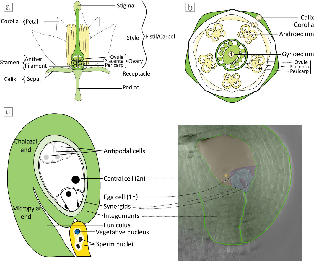 Ovule clearing method for solanaceous species bio protocol longitudinal sections of a solanaceous flower b transversal sections of a solanaceous flower c description of ovule cells types pooptronica
