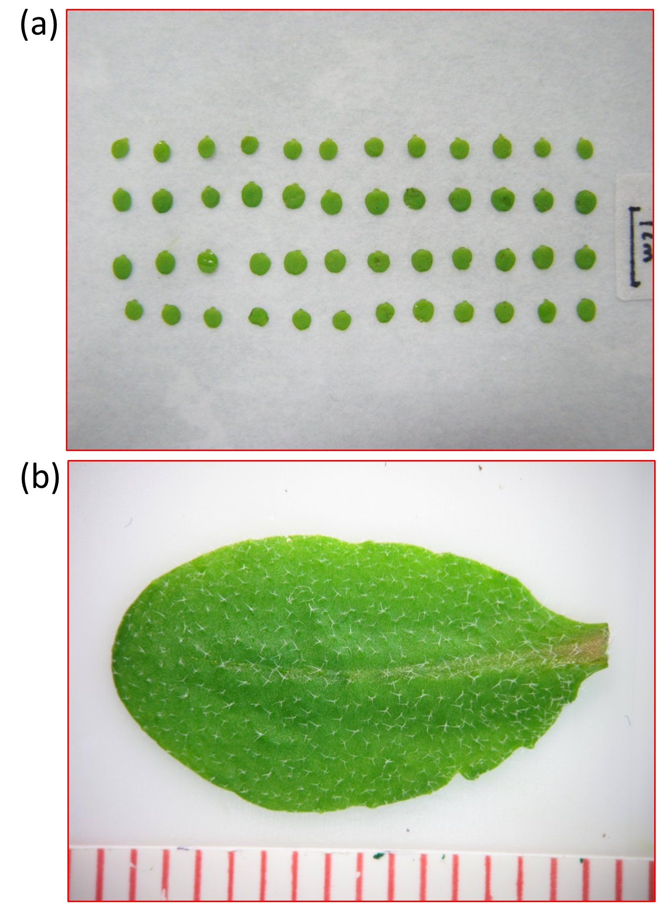 Analyses of Plant Leaf Cell Size, Density and Number, as