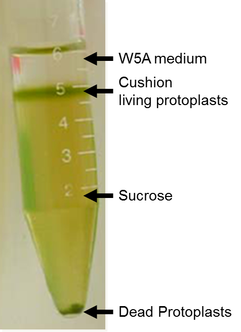 protoplast preparation and determination of cell death