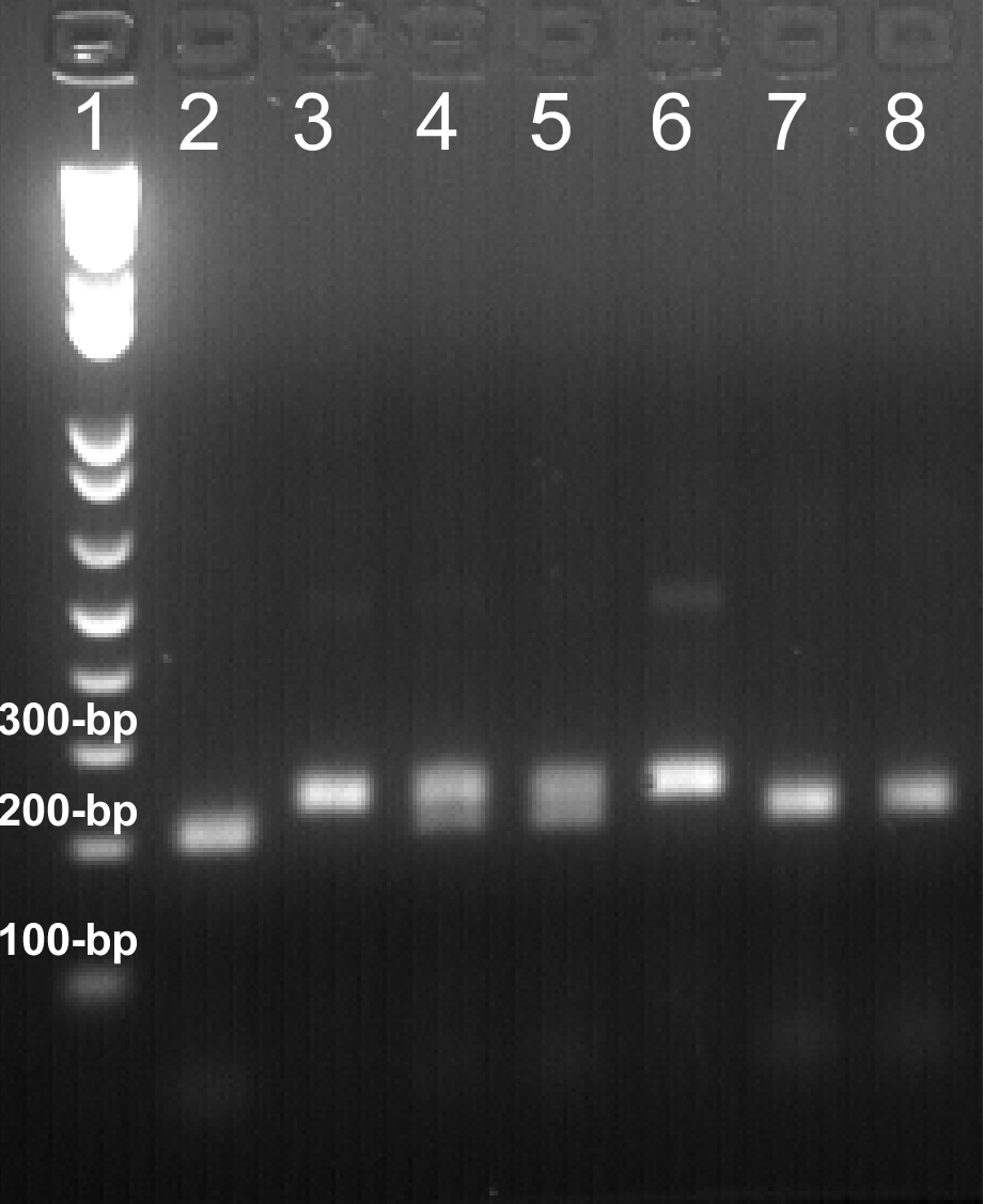 Pcr Rflp Genotyping Of Point Mutations In Caenorhabditis