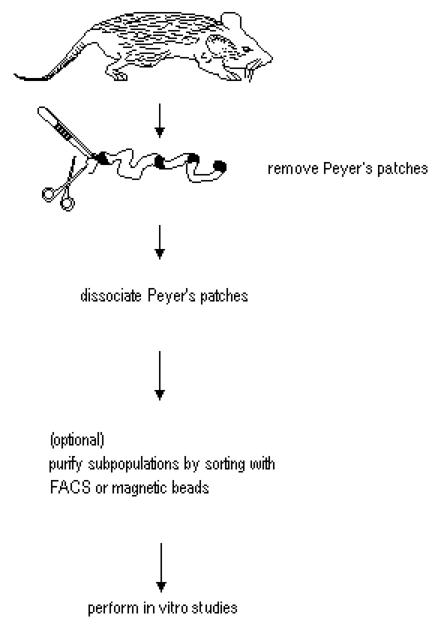 Isolation And In Vitro Activation Of Mouse Peyer U2019s Patch