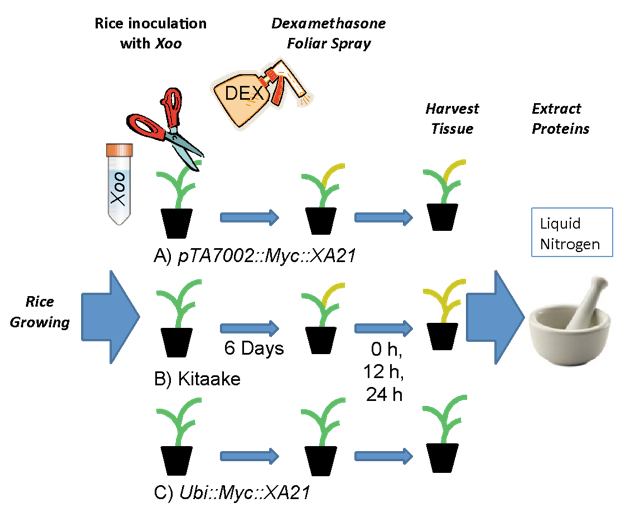 The Use Of A Dexamethasone Inducible System To Synchronize