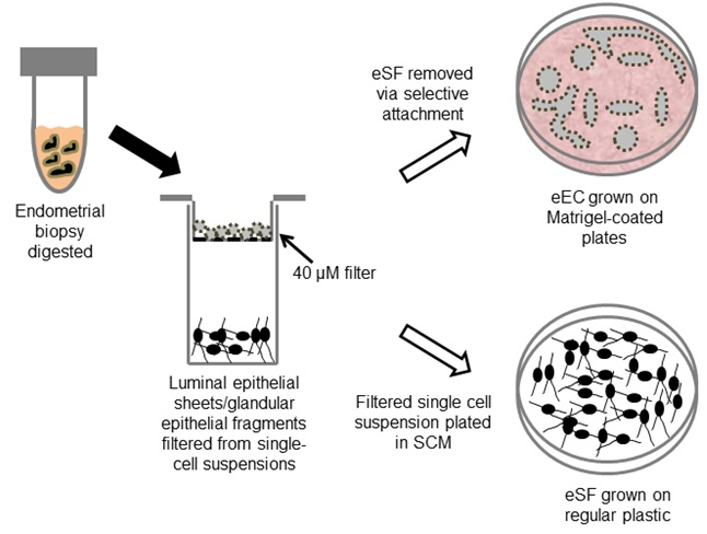 Isolation And Culture Of Human Endometrial Epithelial