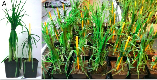 Experimental Design To Determine Drought Stress Response