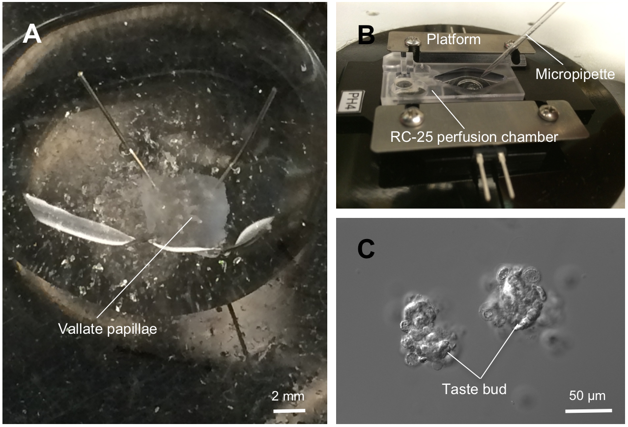 Isolating Taste Buds And Taste Cells From Vallate Papillae Of C57bl