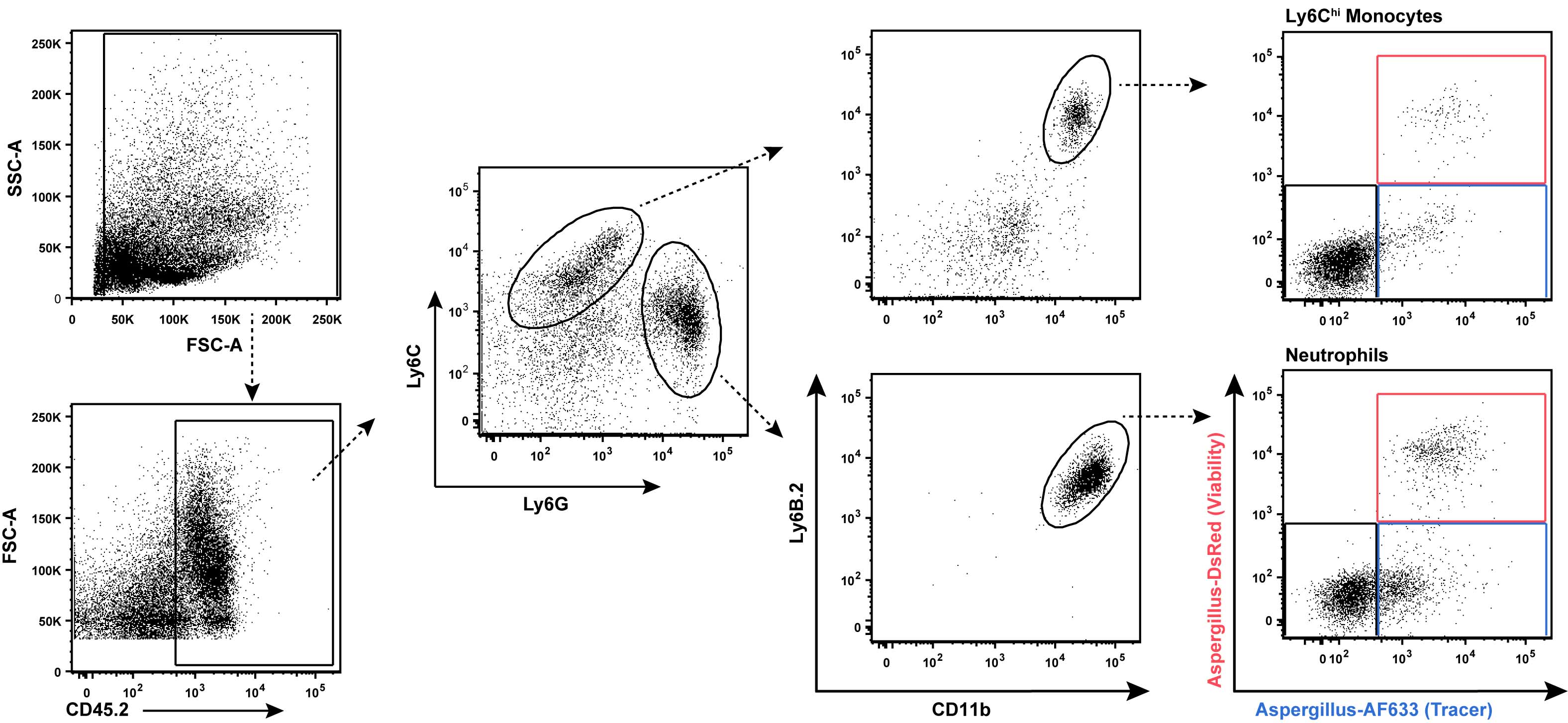 Flow Cytometry of Lung and Bronchoalveolar Lavage Fluid