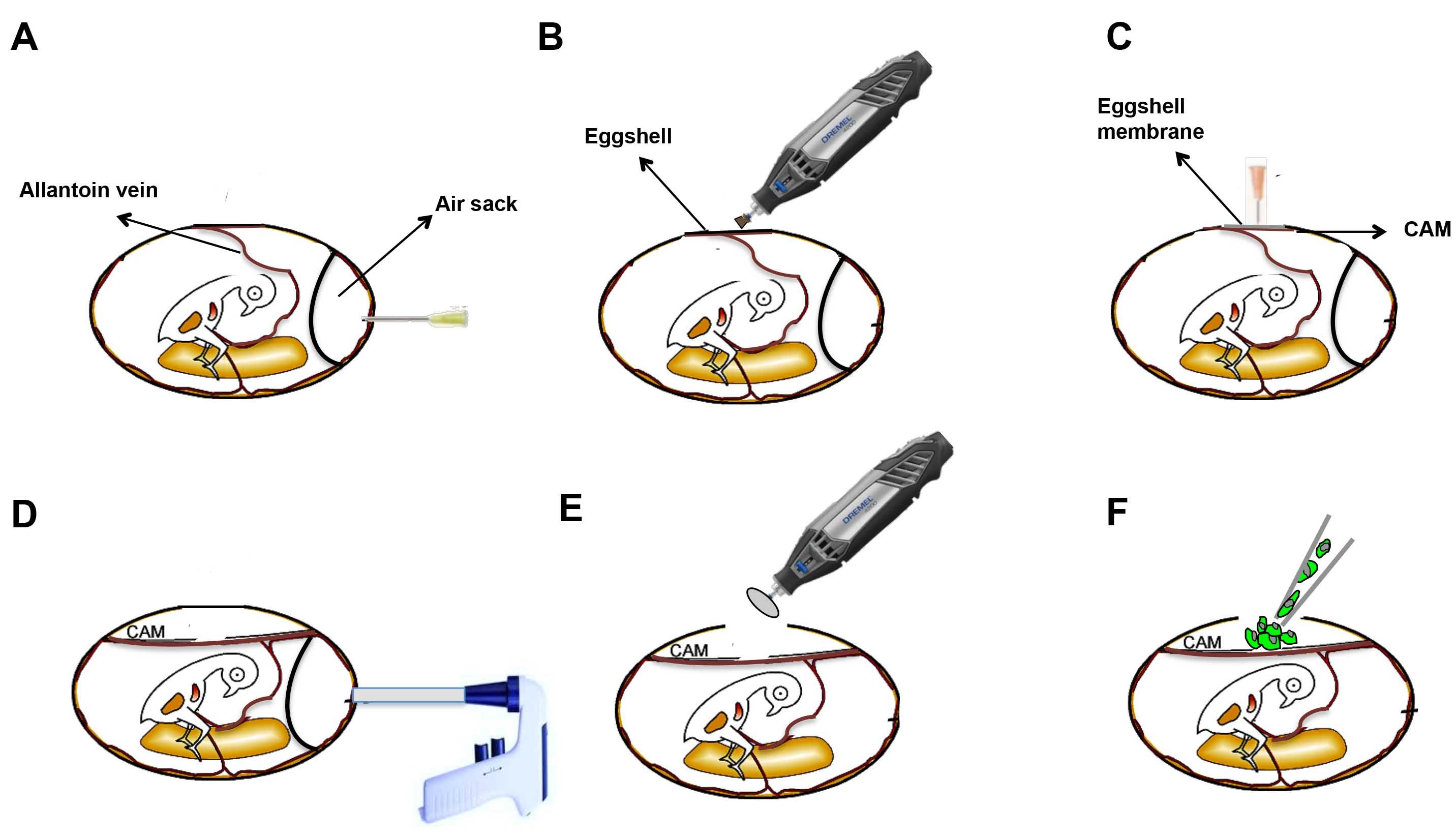 The Chick Embryo Chorioallantoic Membrane As An In Vivo
