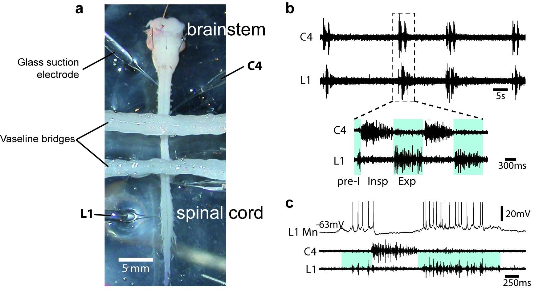 in vitro brainstem