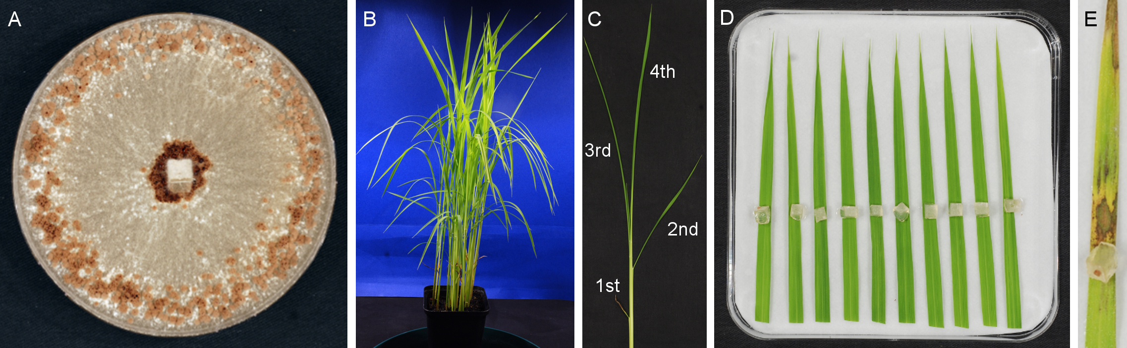 Inoculation Of Rice With Different Pathogens Sheath