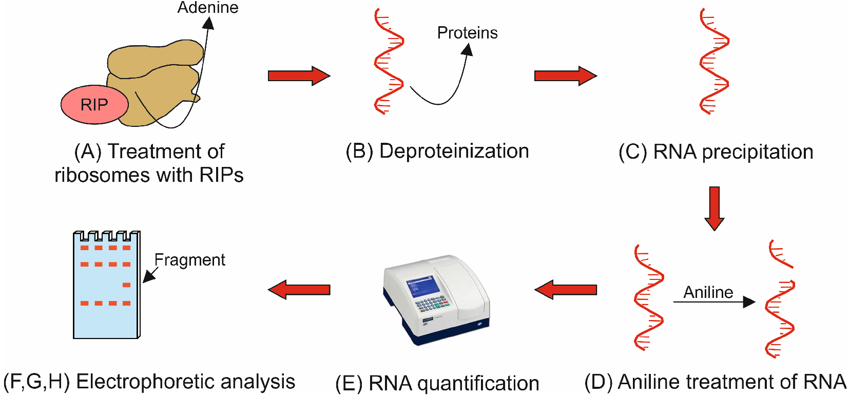 Ribosomal rna n glycosylase activity assay of ribosome figure 2 flowchart illustrating protocol procedure parts a h the flowchart shows the key steps describing the eight main parts of the protocol procedure pooptronica