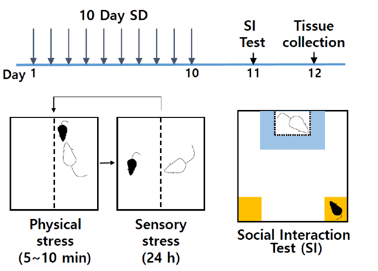 Testing Depression in Mice: a Chronic Social Defeat Stress