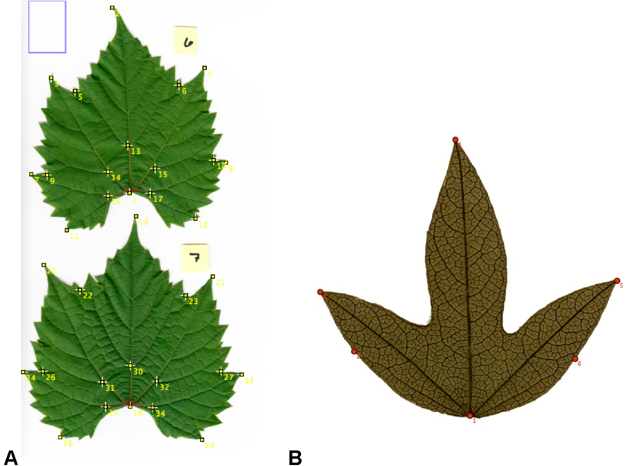 What distinguishes simple leaves from complex