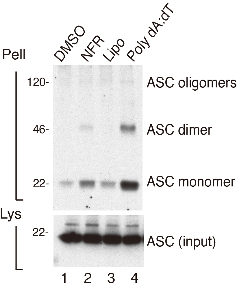 detection of asc oligomerization by western blotting