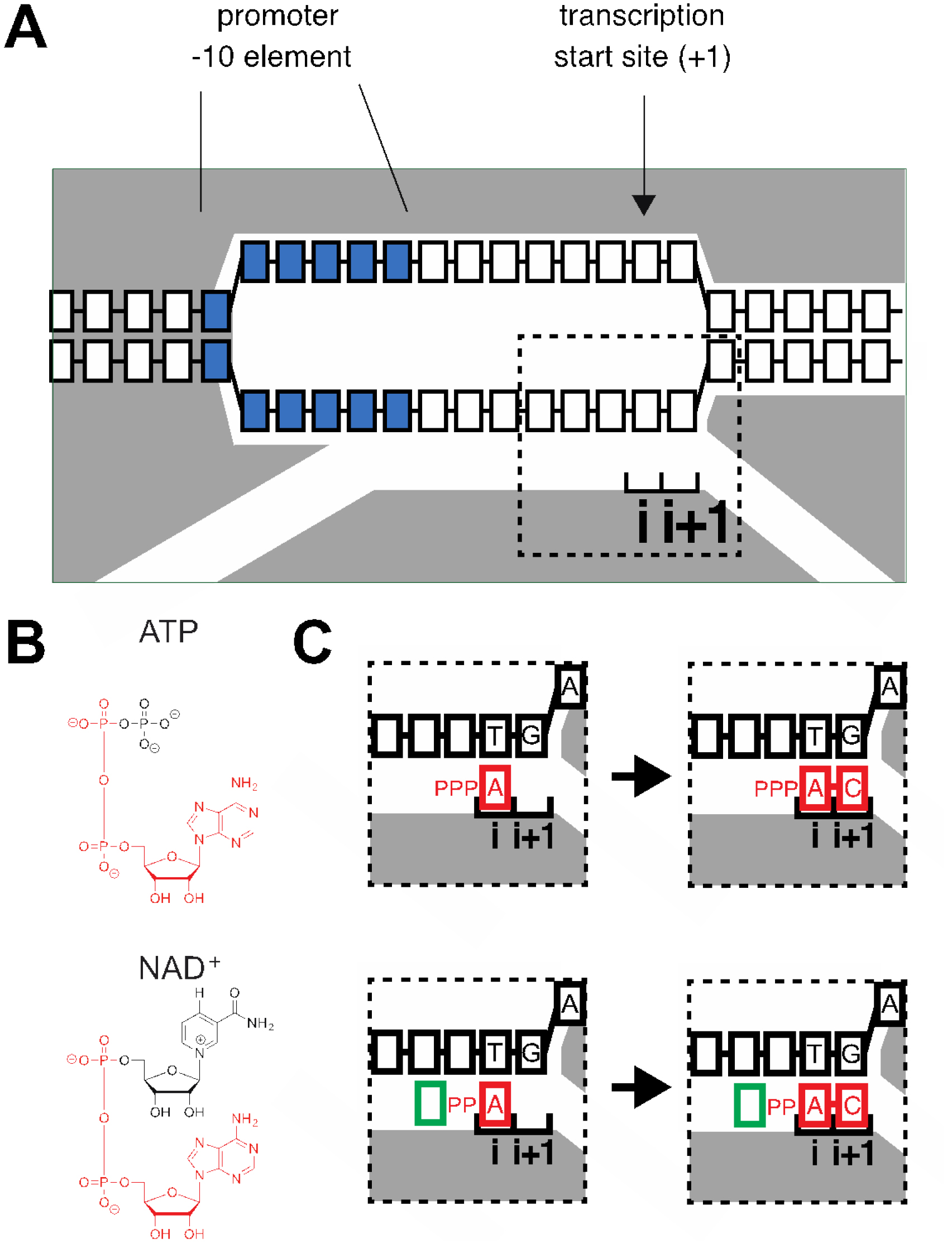 Rna capping by transcription initiation with non canonical gray rnap blue 10 element nucleotides i and i1 rnap active center initiating nucleotide binding site and extending nucleotide binding site boxes ccuart Gallery
