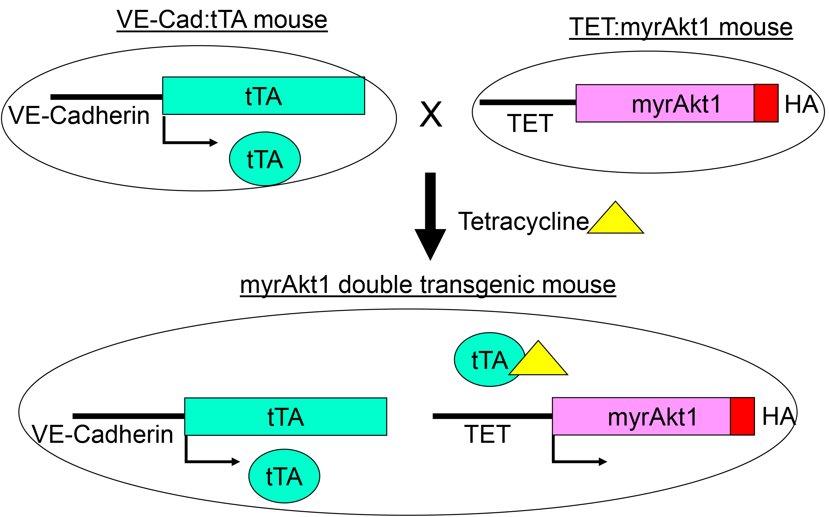 A Novel Mouse Skin Graft Model Of Vascular Tumors Driven By Akt1 Diagram Myrakt1 Double Transgenic The Ve Cadtta Line Contains Cadherin Promoter Cloned Upstream Tetracycline Regulated