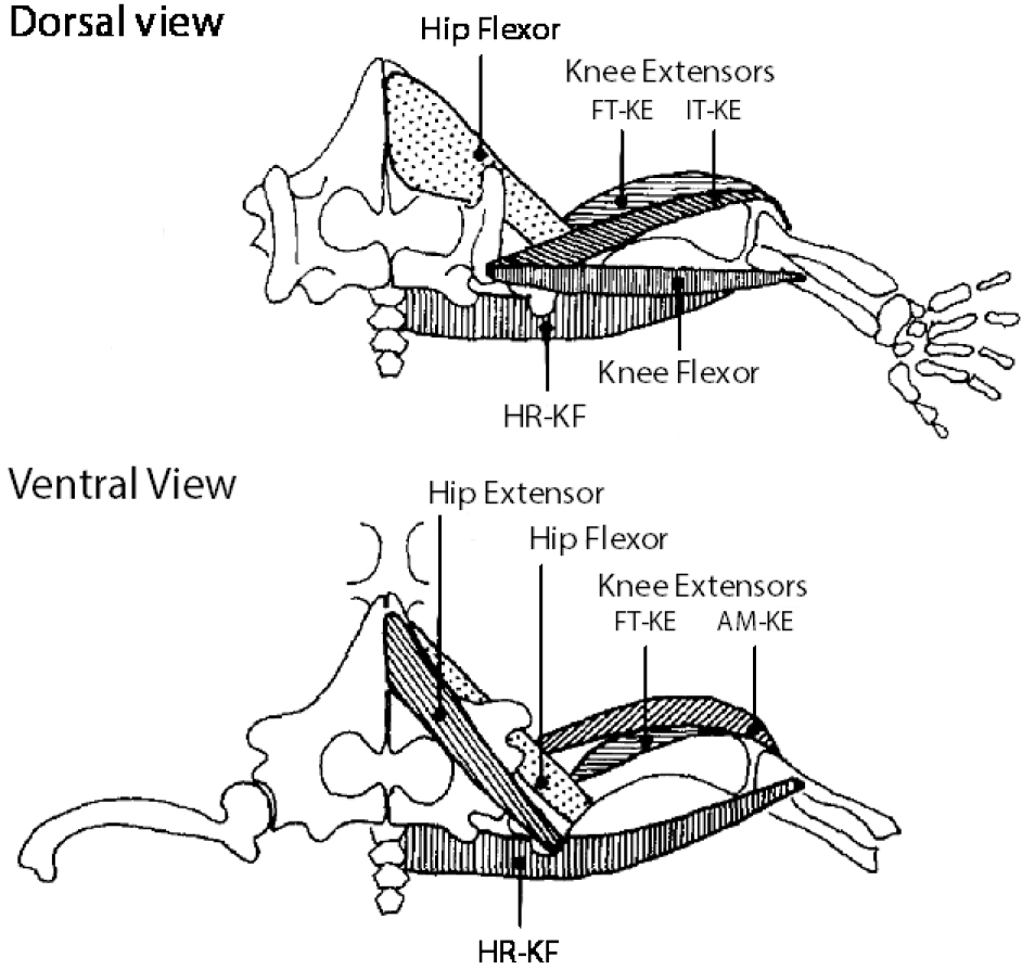 Spinal Cord Preparation from Adult Red-eared Turtles for ...