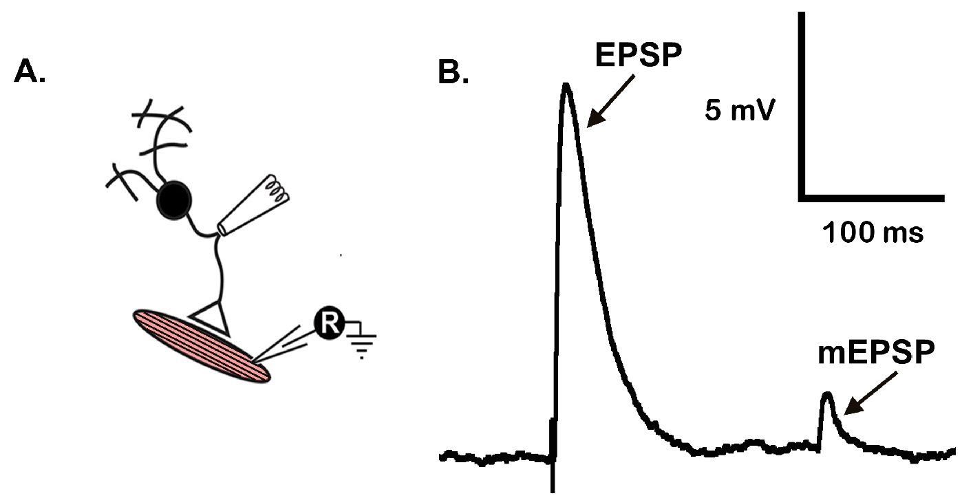 muscle protocol This manuscript describes a detailed protocol to induce acute skeletal muscle regeneration in adult mice and subsequent manipulations.