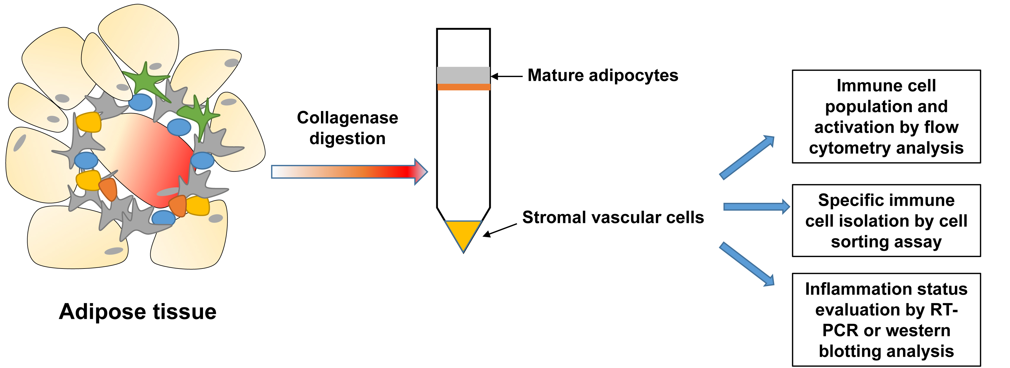 Isolation and Analysis of Stromal Vascular Cells from
