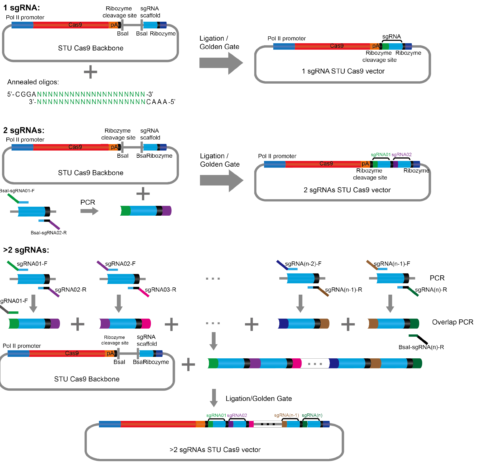 Construction Of A Single Transcriptional Unit For Expression Cas9 T4 1 Block Diagram Schematic Illustration The Cloning Procedure Described In Protocol