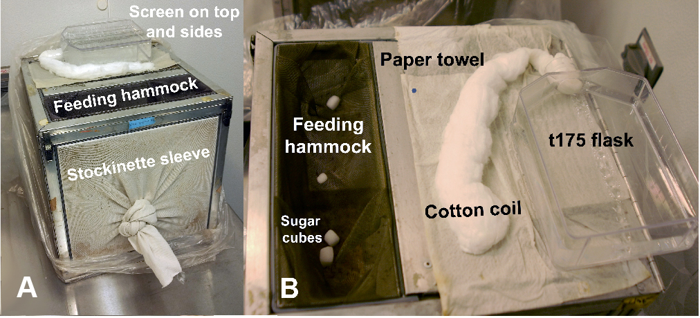 Rearing of Culex spp  and Aedes spp  Mosquitoes