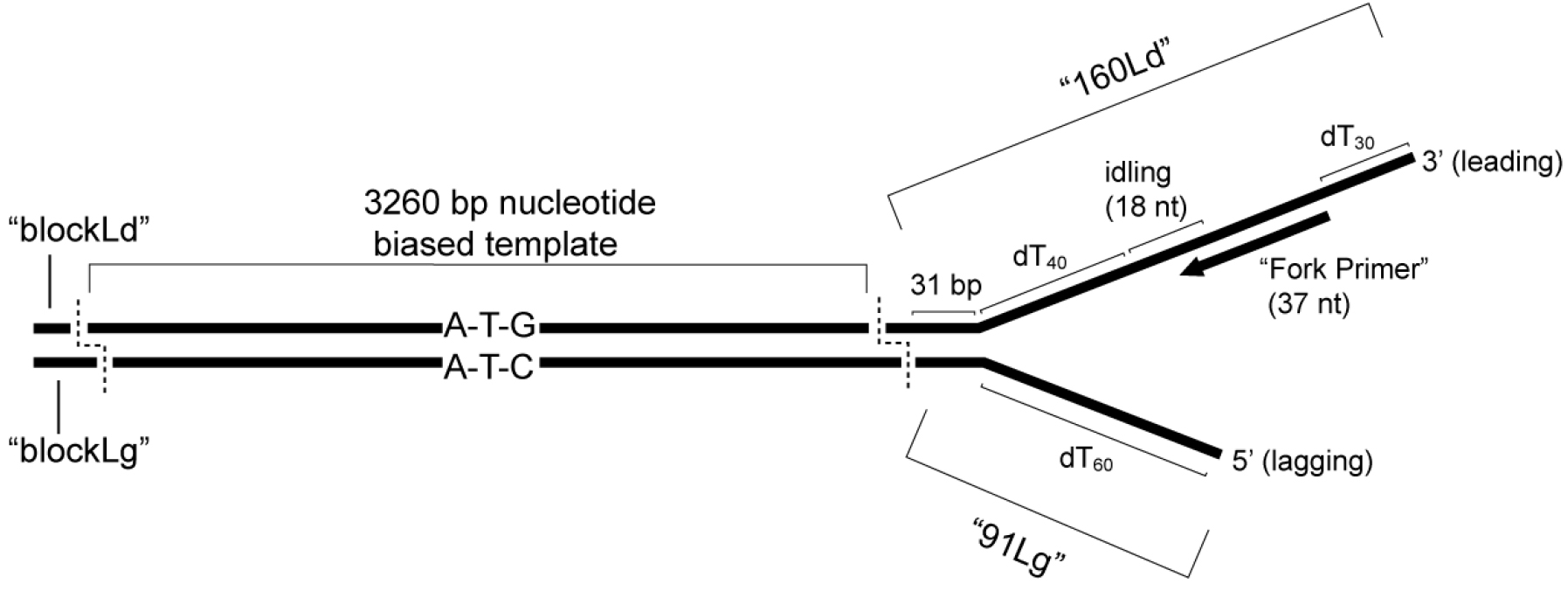 In vitro assays for eukaryotic leadinglagging strand dna schematic of nucleotide biased substrate the 3nbf substrate including the oligonucleotides described in the text is shown with the relevant features solutioingenieria Choice Image