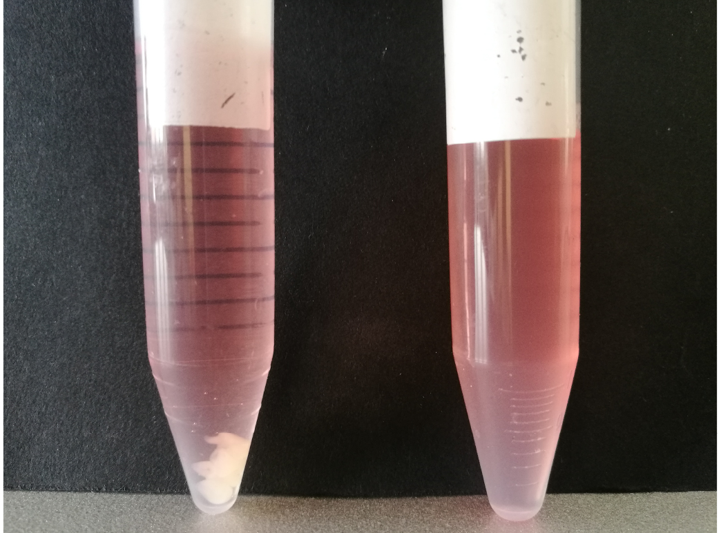 Preparation of Primary Cultures of Embryonic Rat