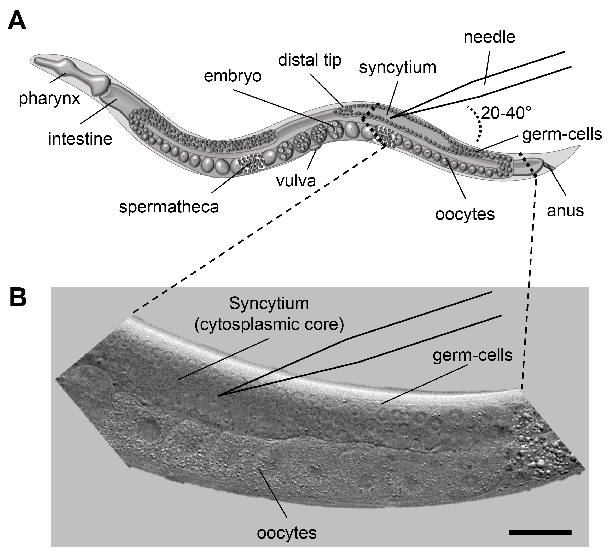 C Elegans Cell Wiring Diagram