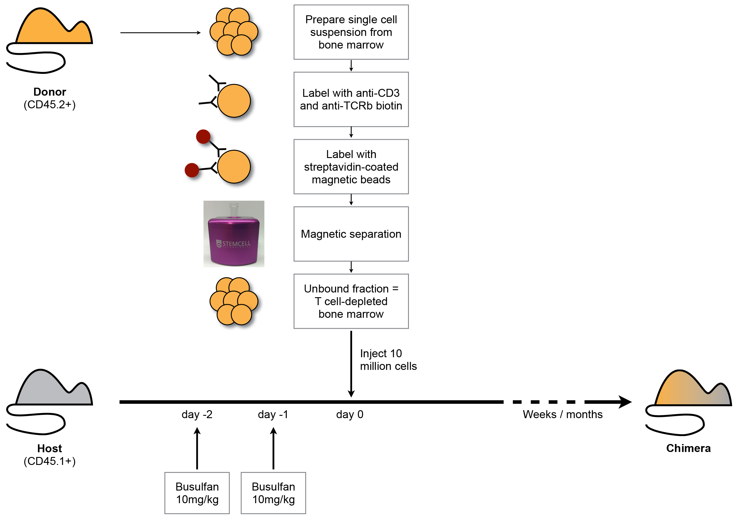 Generation Of Busulfan Chimeric Mice For The Analysis T Labeled Animal Cell Diagram Related Keywords Suggestions This Schematic Summarises Principal Steps Protocol Bone Marrow Cells From Cd452 Donor Are