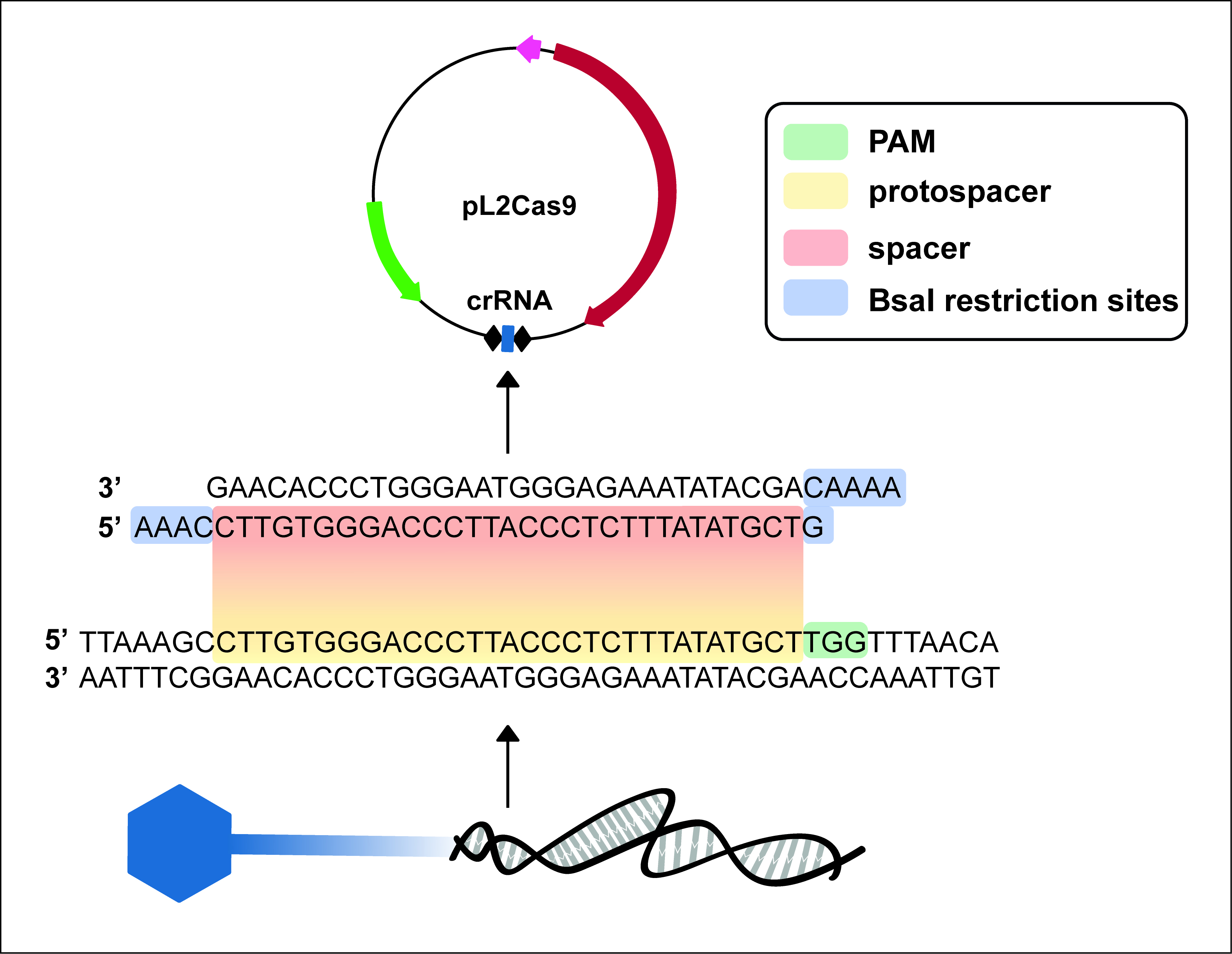 Targeted Genome Editing of Virulent Phages Using CRISPR-Cas9
