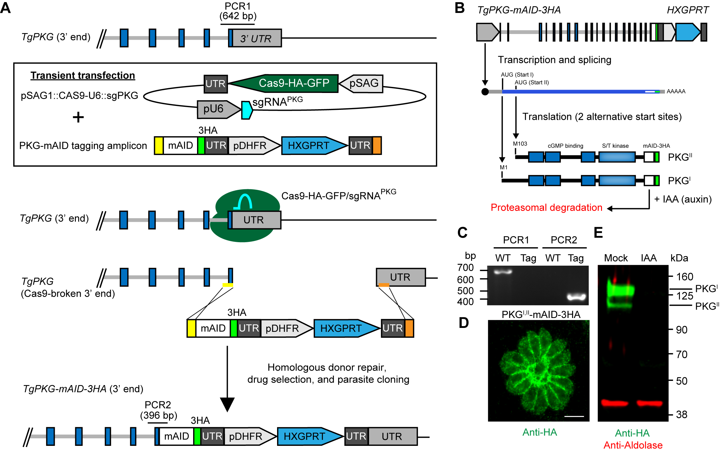 Conditional Knockdown of Proteins Using Auxin-inducible