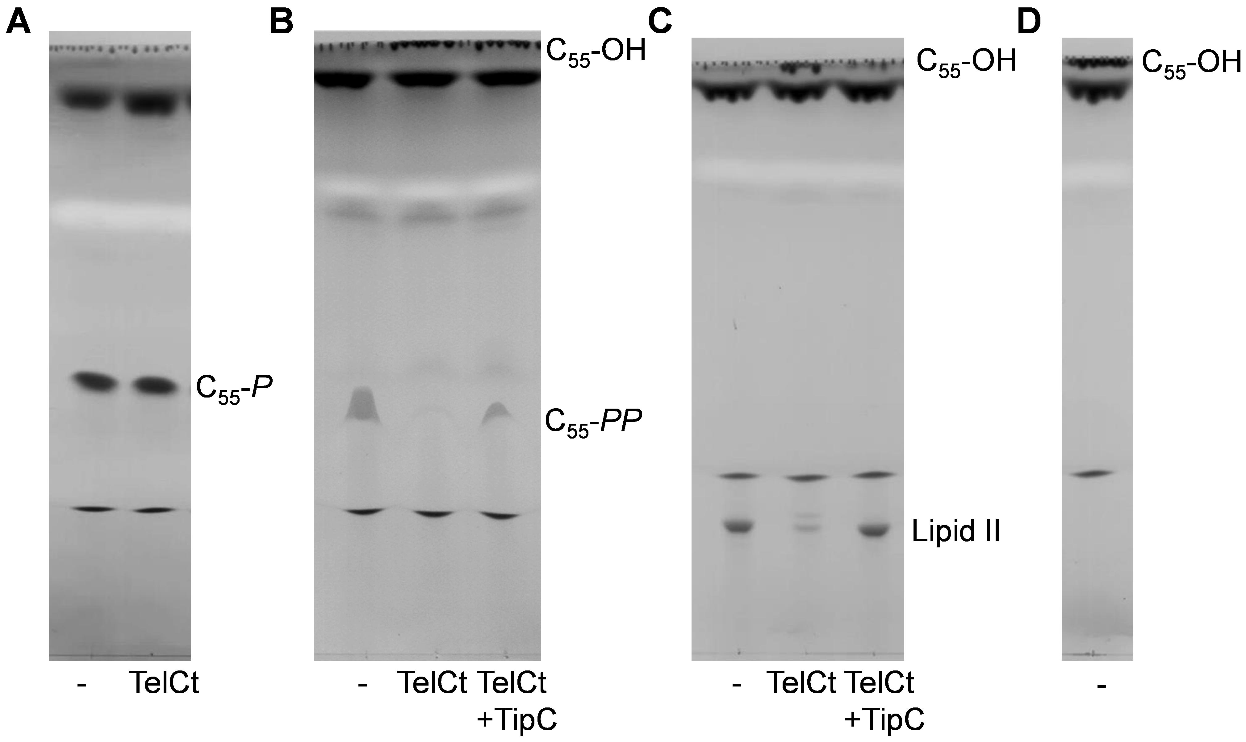 Bacterial Cell Wall Precursor Phosphatase Assays Using Thin Layer