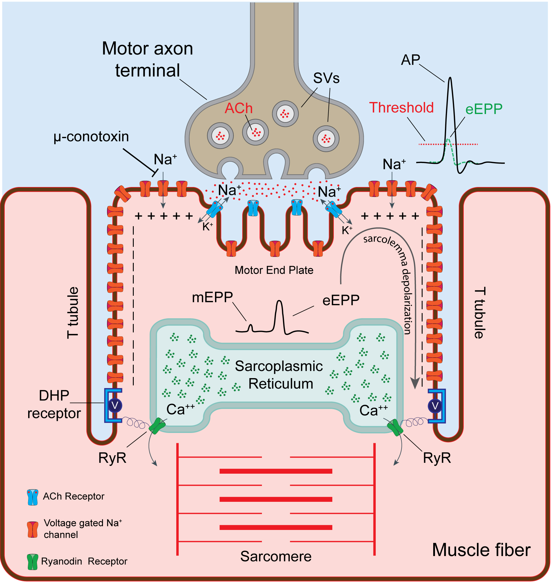 Electrophysiological Recordings of Evoked End-Plate