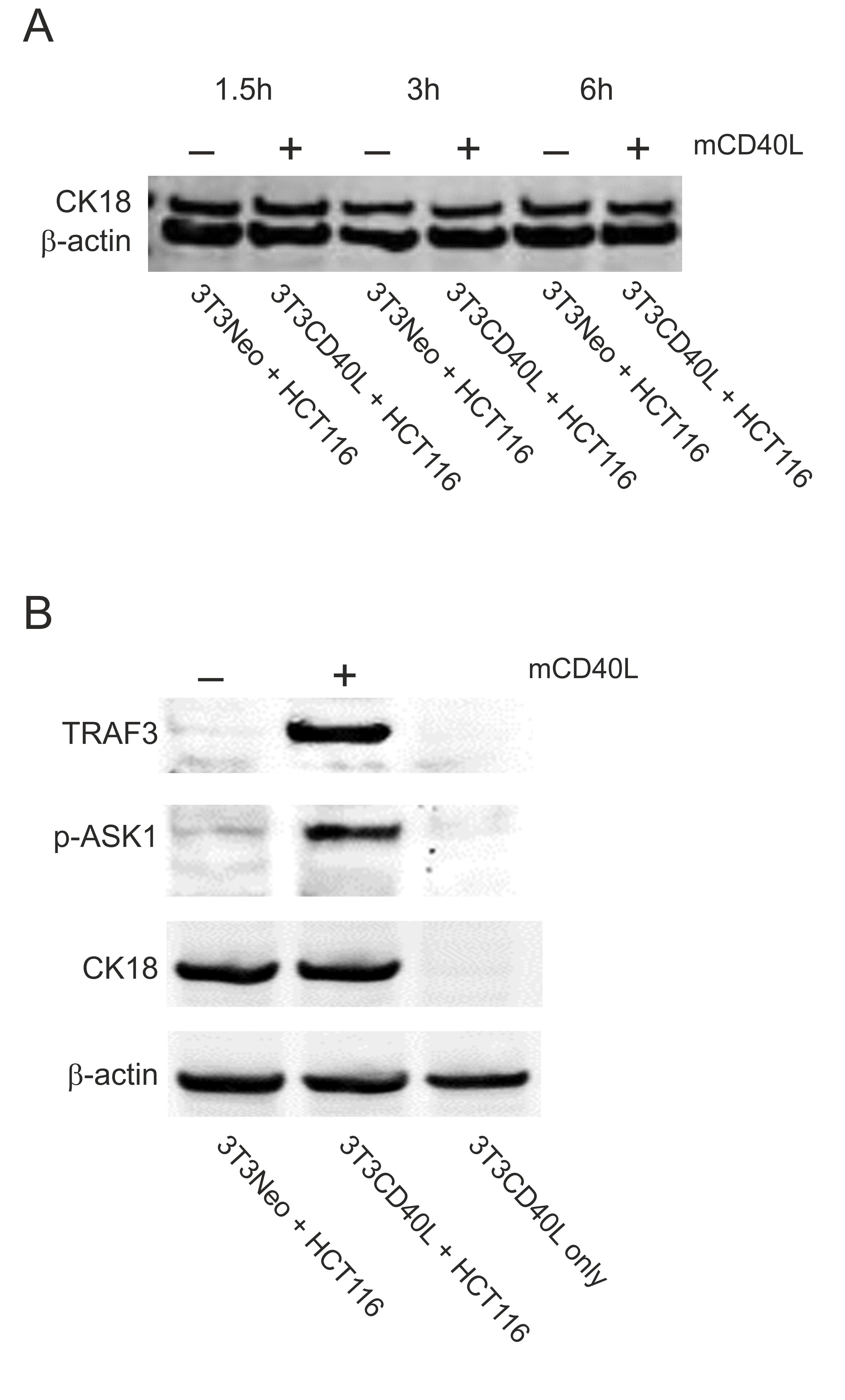 An in vitro Co-culture System for the Activation of CD40 by