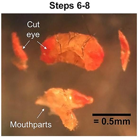 Ex vivo Whole-cell Recordings in Adult Drosophila Brain