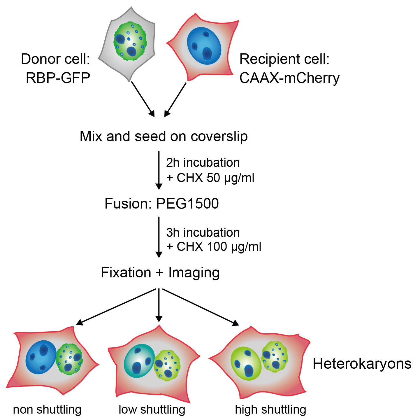 A Quantitative Heterokaryon Assay To Measure The Nucleocytoplasmic