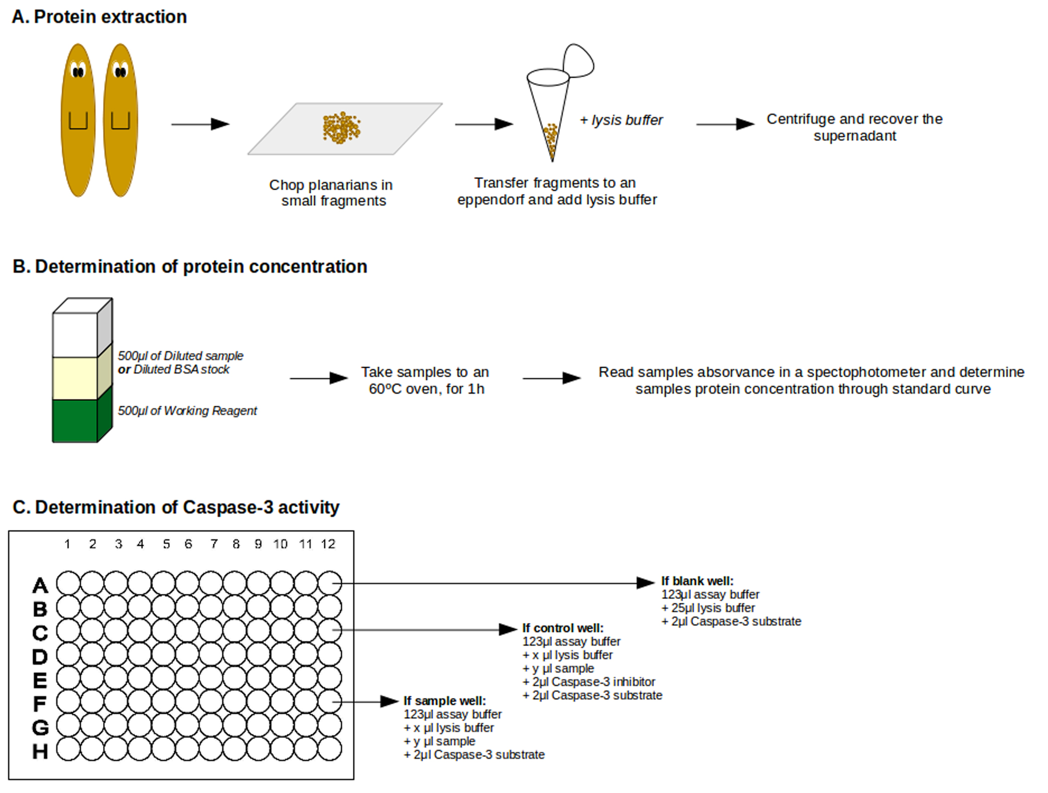 figure 2  general view of caspase-3 assay protocol  a  cartoon exemplifying  protein extraction  b  step-by-step of protein concentration determination