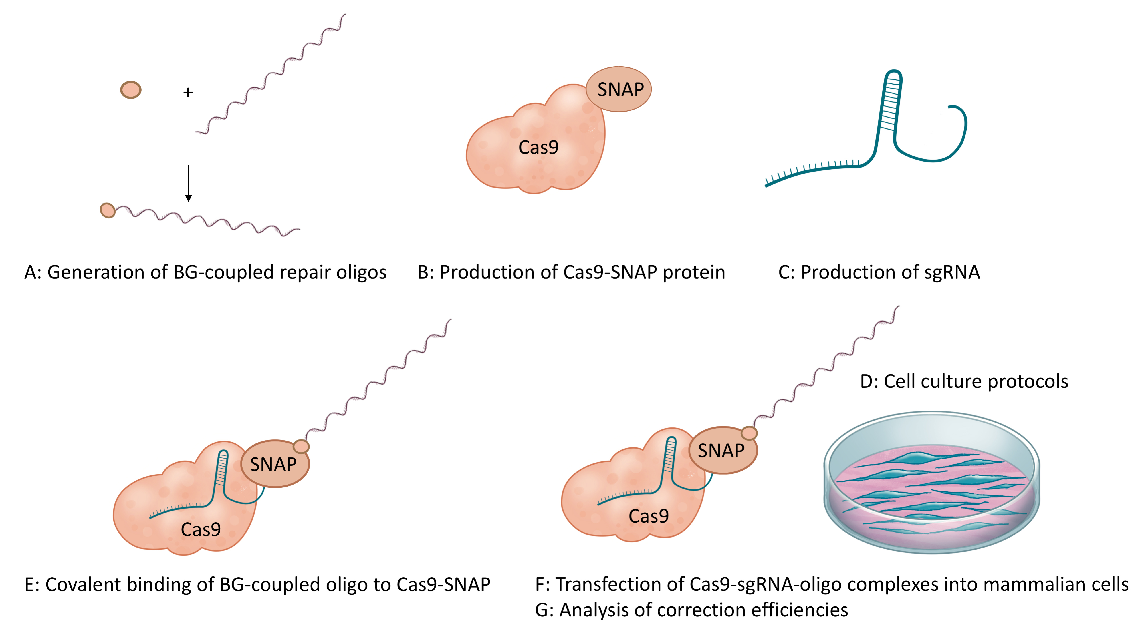 In vitro Generation of CRISPR-Cas9 Complexes with