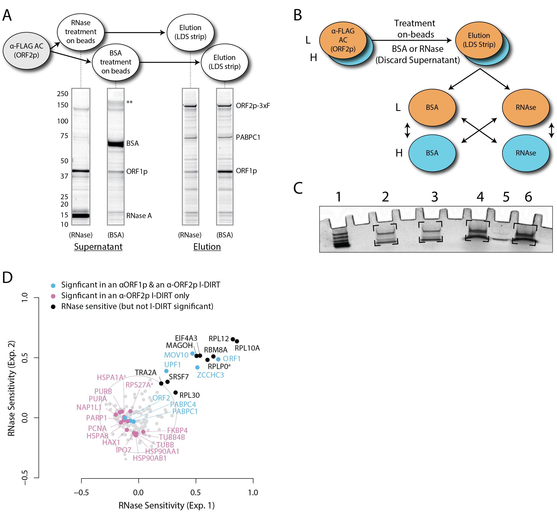 Identification of RNase-sensitive LINE-1 Ribonucleoprotein