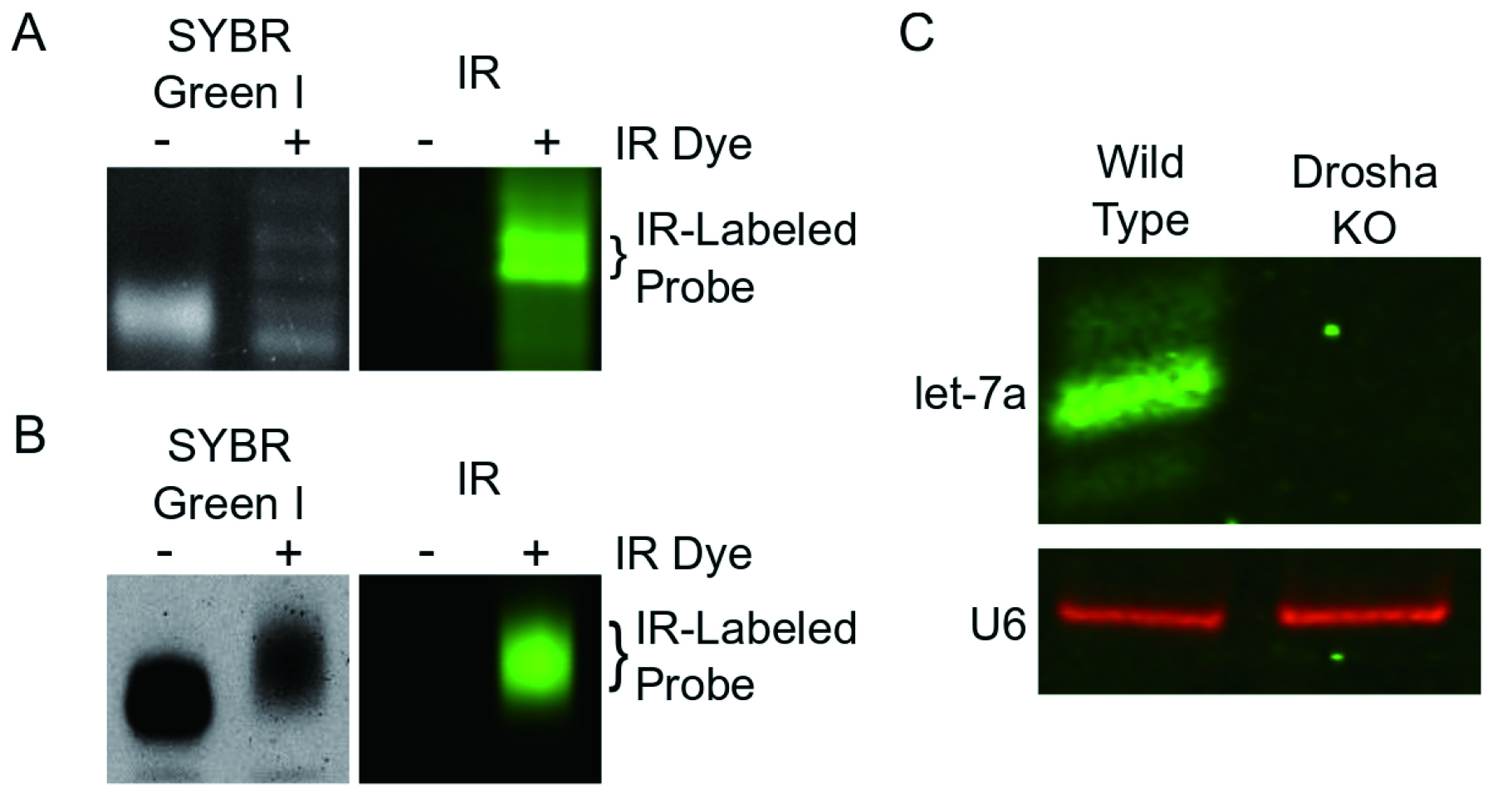 Northern Blot with IR Fluorescent Probes: Strategies for