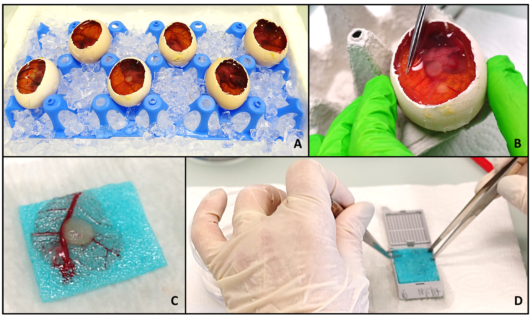 The Chick Chorioallantoic Membrane (CAM) Assay as a